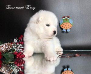 В дружественном питомнике Белолакай 19.12.2019 г.родились щенки Самоеда — находятся в Воронеже, возможна доставка! тел. +7 951 54 20 691